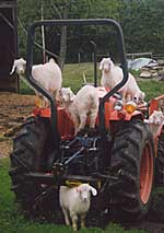 Tractor goats